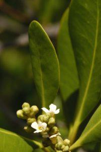 Palétuvier gris (Avicennia germinans)<br> Mangrove de la Prequ'île de la Caravelle<br> Île de la Martinique