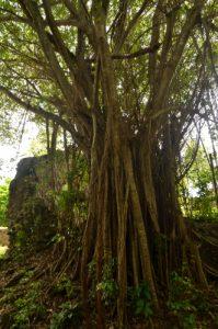 Figuier maudit (Ficus citrifolia) Prequ'île de la Caravelle Île de la Martinique
