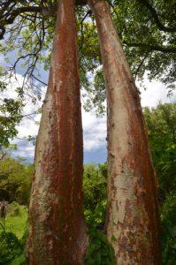 Gommier rouge (Bursera simaruba) Prequ'île de la Caravelle Île de la Martinique