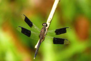 Libellule Erythrodiplax à quattre bandes mâle (Erythrodiplax umbrata) Prequ'île de la Caravelle Île de la Martinique