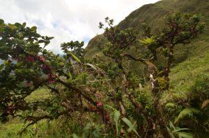 Fuchia-Montagne (Charianthus nodosus) endémique de la Martinique La Montagne Pelée Île de la Martinique