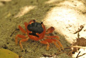 Crabe Touloulou (Gecarcinus lateralis) Anse Trabaud Île de la Martinique