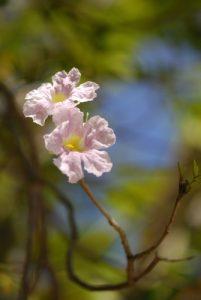 Fleur de Poirier Pays (Tabebuia heterophylla) Plage de Grande Terre Île de la Martinique