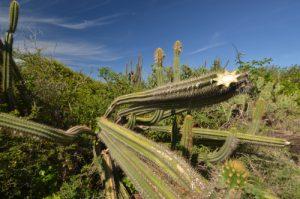 Cactus Cièrge (Pilosocereus royeni)<br> Savane des pétrifications<br> Île de la Martinique