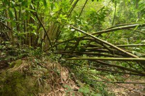 Bambou (Bambusa vulgaris) dans la forêt hygrophile<br> Chemin de la Cascade de la rivière Couleuvre<br> Île de la Martinique