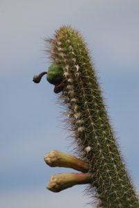 Cactus Cièrge (Pilosocereus royeni)<br> Trace des Caps près de Cap Ferré<br> Île de la Martinique