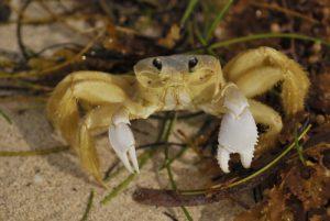Crabe soleil ou Mal zoreille (Ocypode albicans) Anse Noire sur la Trace des Caps Île de la Martinique