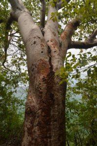 Gommier rouge (Bursera simaruba) Pointe Dunkerque de la Trace des Caps Île de la Martinique