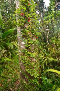 Liane Crête à coq (Alloplectus cristatus) Forêt primitive hygrophile d'Absalon Île de la Martinique