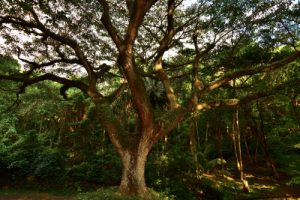 Le Zamana ou Arbre à pluie (Samanea saman)<br> Anse Céron<br> Parc Naturel Régional de La Martinique