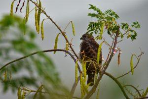 Petite Buse (Buteo platypterus)<br> Parc Naturel Régional de La Martinique