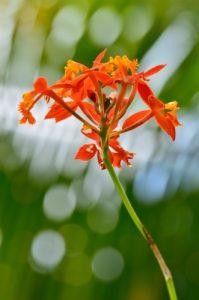 Orchidée Épidendron étoile de feu (Epidendrum radicans)<br> Sentier de l'Estripaut<br> Parc Naturel Régional de La Martinique