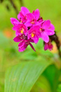 Orchidée coco (Spathoglottis unguiculata)<br> Sentier de l'Estripaut<br> Parc Naturel Régional de La Martinique