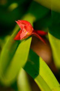 Orchidée Épidendron écarlate (Ornithidium coccineum)<br> Forêt hygrophile de l'Estripaut<br> Parc Naturel Régional de La Martinique