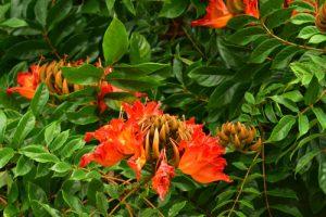 Tulipier du Gabon (Spathodea campanulata)<br> Sentier de l'Estripaut<br> Parc Naturel Régional de La Martinique