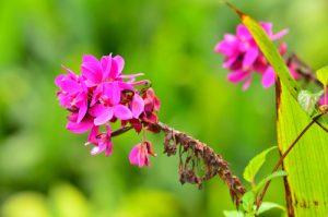 Orchidée (Spathoglottis unguiculata)<br> Sentier de l'Estripaut<br> Parc Naturel Régional de La Martinique