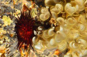 Padine de Sainte-croix (Padina sanctae-crucis) &amp; Oursin perforant de l'Atlantique (Echinometra lucunter)<br> La piscine naturelle l'Œil bleu du Cap Ferré<br> Trace des Caps de Cul-de-Sac Ferré à la Baie des Anglais<br> Parc Naturel Régional de La Martinique