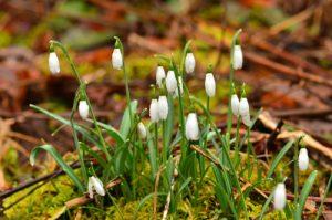 Le Perce-neige (Galanthus plicatus)<br> La Cascade d'Entraigues<br> Parc Naturel Régional des Volcans d'Auvergne