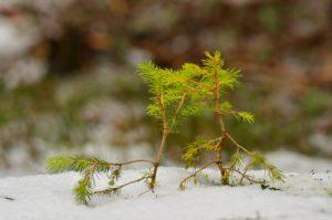L'Épicéa commun (Picea abies)<br> Le Lac de Guéry<br> Parc Naturel Régional des Volcans d'Auvergne