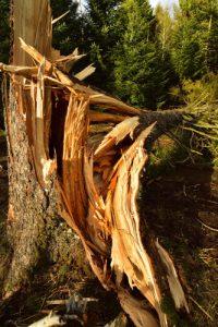 Tronc d'épicéa arraché par la tempête<br> Le Lac de Servières<br> Parc Naturel Régional des Volcans d'Auvergne