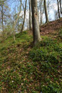 La Petite Pervenche (Vinca minor)<br> Sentier Denecourt-Colinet n°04<br> Forêt domaniale de Fontainebleau