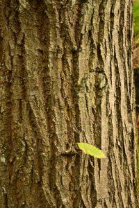 Le Châtaignier commun (Castanea sativa)<br> Platière du Coquibus<br> Forêt domaniale des Trois Pignons