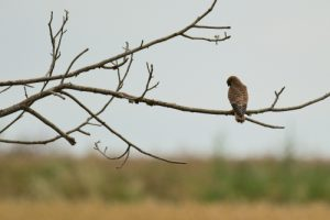 Faucon crécerelle (Falco tinnunculus)<br> Réserve de Marne &amp; Gondoire