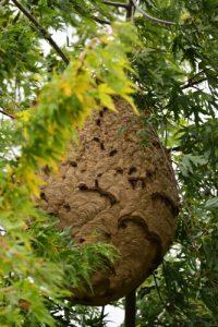 Nid de Frelons asiatiques ou Frelons à pattes jaunes (Vespa velutina)<br> Étang de La Loy<br> Site classé de la vallée des rus de La Brosse &amp; de La Gondoire
