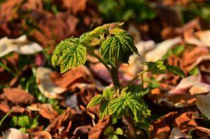 Le Framboisier ou la Ronce du mont Ida (Rubus idaeus)<br> Site classé des rus de La Brosse &amp; de La Gondoire