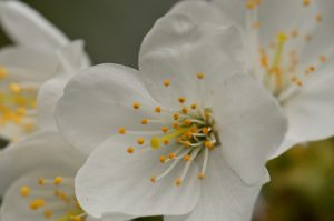 La fleur du Merisier (Prunus avium)<br> Bois de l'Étang de La Loy<br> Site classé des rus de La Brosse &amp; de La Gondoire