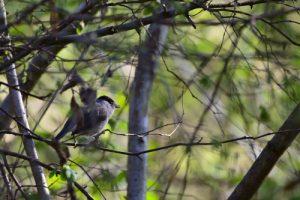 La Fauvette à tête noire (Sylvia atricapilla)<br> Bois de l'Étang de La Loy<br> Site classé des rus de La Brosse &amp; de La Gondoire