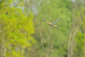Le Faucon crécerelle (Falco tinnunculus) Vallée du ru de la Brosse<br> Site classé des rus de La Brosse &amp; de La Gondoire