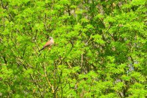 Le Faucon crécerelle (Falco tinnunculus)<br> Vallée du ru de la Brosse<br> Site classé des rus de La Brosse &amp; de La Gondoire