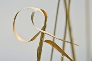 Massette à feuilles larges (Typha latifolia)<br> Étang de La Loy<br> Site classé des rus de La Brosse &amp; de La Gondoire