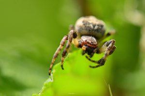 L'Araignée Épeire des roseaux (Larinioides cornutus)<br> Étang de La Loy<br> Site classé des rus de La Brosse &amp; de La Gondoire