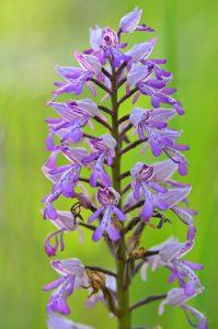 L'Orchidée Orchis militaire (Orchis militaris)<br> Réserve Naturelle Régionale du Grand-Voyeux