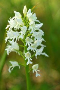 L'Orchidée Orchis militaire (Orchis militaris) sous une forme albinos<br> Réserve Naturelle Régionale du Grand-Voyeux