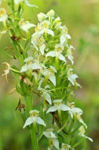 L'Orchidée Platanthère à fleurs verdâtres (Platanthera chlorantha)<br> Réserve Naturelle Régionale du Grand-Voyeux