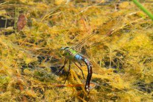 La Libellule Anax empereur ( Anax imperator) femelle en ponte<br> Réserve Naturelle Régionale du Grand-Voyeux