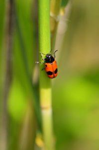 L'Insecte Coléoptère Clytre des saules (Clytra laeviuscula)<br> Réserve Naturelle Régionale du Grand-Voyeux