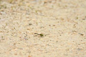 La Libellule Onychogomphe à pinces (Onychogomphus forcipatus)<br> Réserve Naturelle Régionale du Grand-Voyeux