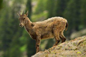 Le Bouquetin des Alpes (Capra ibex)<br> Lacs de Trécolpas &amp; des Sagnes<br> Haute vallée de la Vésubie<br> Parc Naturel National du Mercantour