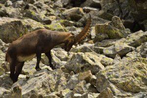 Le Bouquetin des Alpes (Capra ibex)<br> Lacs de la Gordolasque<br> Haute vallée de la Vésubie<br> Parc Naturel National du Mercantour