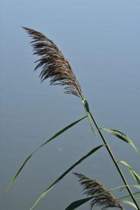 Le Roseau ou Roseau commun ou Roseau à balais (Phragmites australis)<br> Étang de La Loy<br> Site classé des rus de La Brosse &amp; de La Gondoire