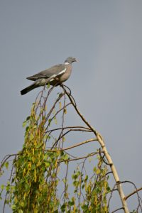 Le Pigeon ramier (Columba palumbus)<br> Bois de l'étang de La Loy<br> Site classé des rus de La Brosse &amp; de La Gondoire