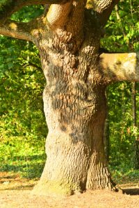 Chêne pédonculé (Quercus robur)<br> Allée du chateau de Rentilly<br> Site classé des rus de La Brosse &amp; de La Gondoire