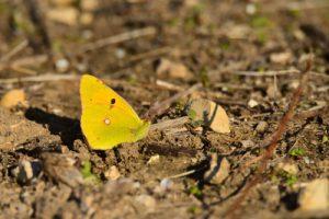 Papillon du genre Colias (Colias sp.)<br> Marais de Saint-Clément-des-Baleines<br> Île de Ré