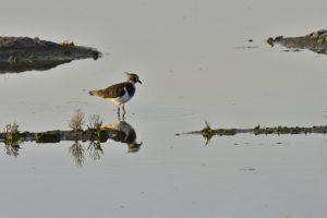 Le Vanneau huppé (Vanellus vanellus)<br> Marais de Saint-Clément-des-Baleines<br> Île de Ré