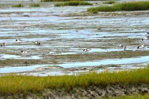 Le Tadorne de Belon (Tadorna tadorna)<br> Marais de la pointe du Croc à Loix<br> Île de Ré