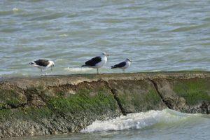 Le Goéland marin (Larus marinus) à gauche (2) &amp; le Goéland brun (Larus fuscus) à droite<br>  Pointe de Chanchardon<br> Île de Ré